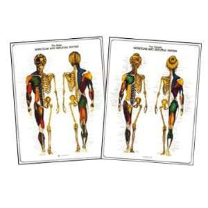 Male and Female Muscular and Skeletal Anatomy Chart Set: