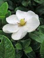 Gardenia jasminoides Kleims Hardy GARDENIA Seeds!