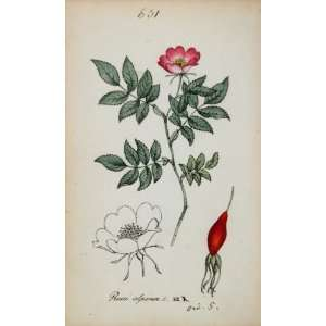 1826 Rosa Alpina Alpine Rose Pink Botanical Color Print