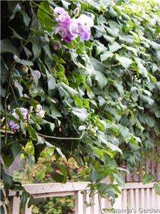 Snail Creeper, Vine, 5 SEEDS, Fragrant Purple Flower